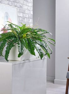 boston fern cabinet trough