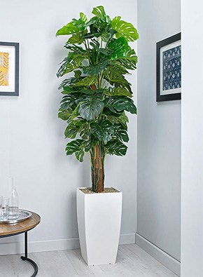 Cheese Plant on Pole