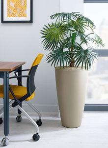 design chinese fan palm