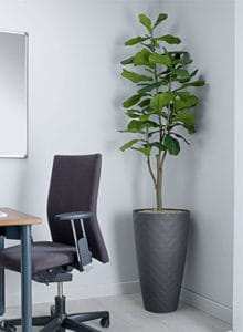 design fiddle leaf fig
