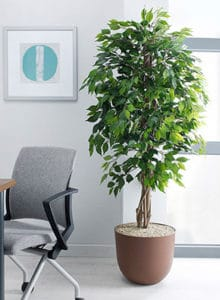 design green weeping fig