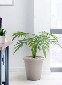 design philodendron