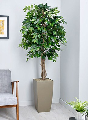 Green Weeping Fig
